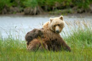brown-bear-with-cub